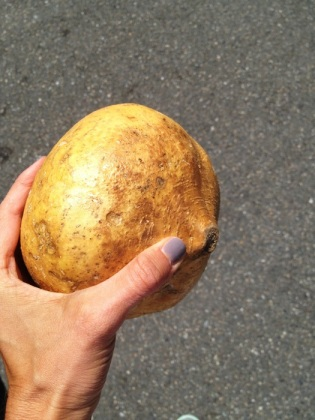 Jicama looks like this. Who knew?